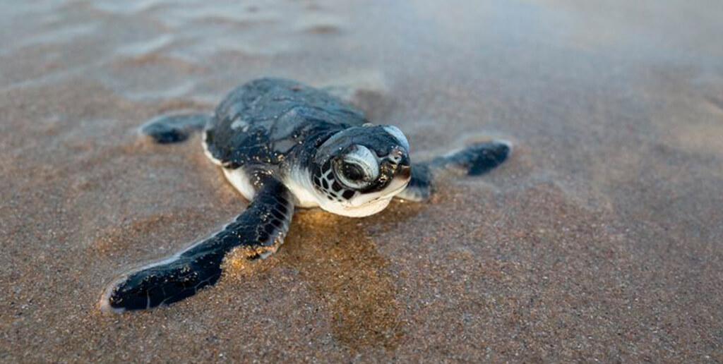 tortugas_en_cancun