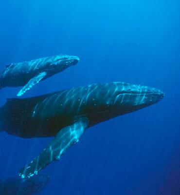Comunicacion entre ballenas Jorobadas