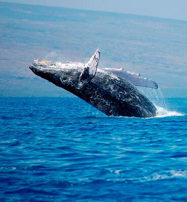 Ballenas Jorobadas en la Costa de Los Cabos
