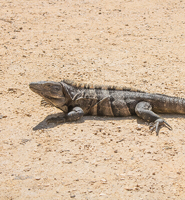 Iguanas en Cancun