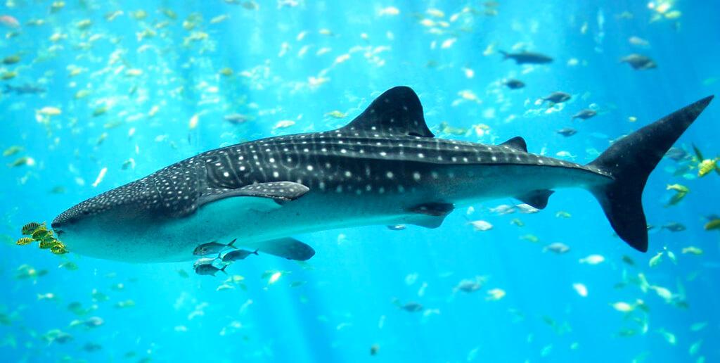 el_tiburon_ballena