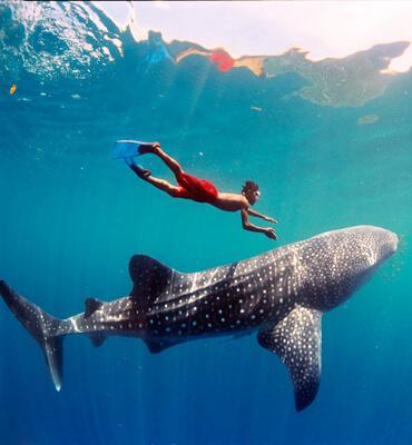 El Tiburón Ballena en las Playas de Los Cabos y Cancún