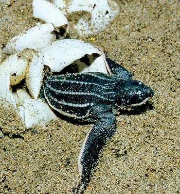 Tortugas Bebes en las playas de Cancún