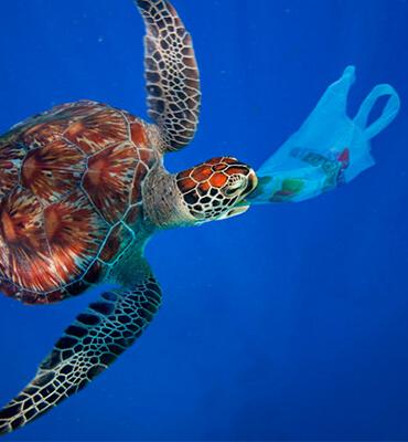 Tortugas Marinas comiendo Bolsas de Plástico