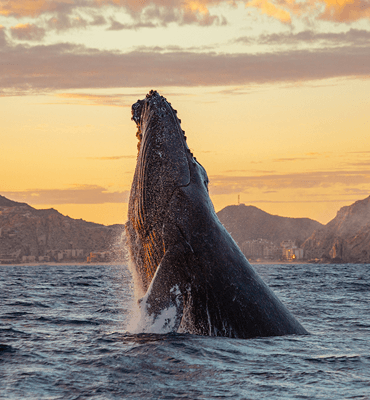 Ballenas llegando a la Costa de Los Cabos